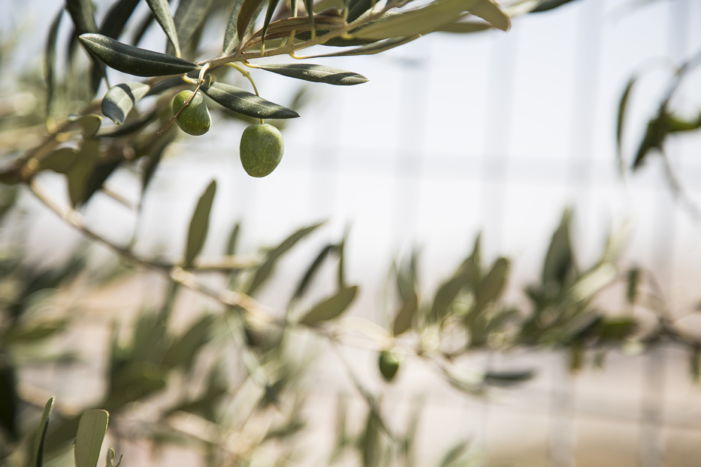 Olive tree palestine the olive tree is a symbol of palestine for palestinians it signifies deep roots with their country and emphasizes the importance of agriculture and buycottarizona Choice Image